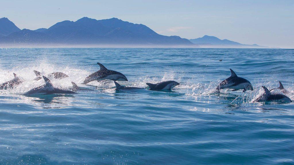 Dolphins swimming in Kaikoura, New Zealand with Dolphin Encounter Kaikoura
