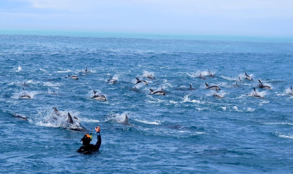 Swimming with dolphins in Kaikoura, New Zealand with Dolphin Encounter Kaikoura