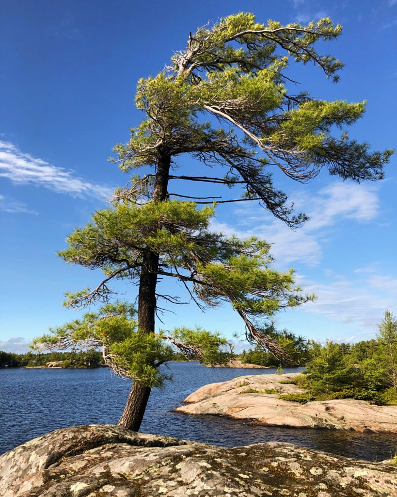Windswept pine tree on Georgian Bay