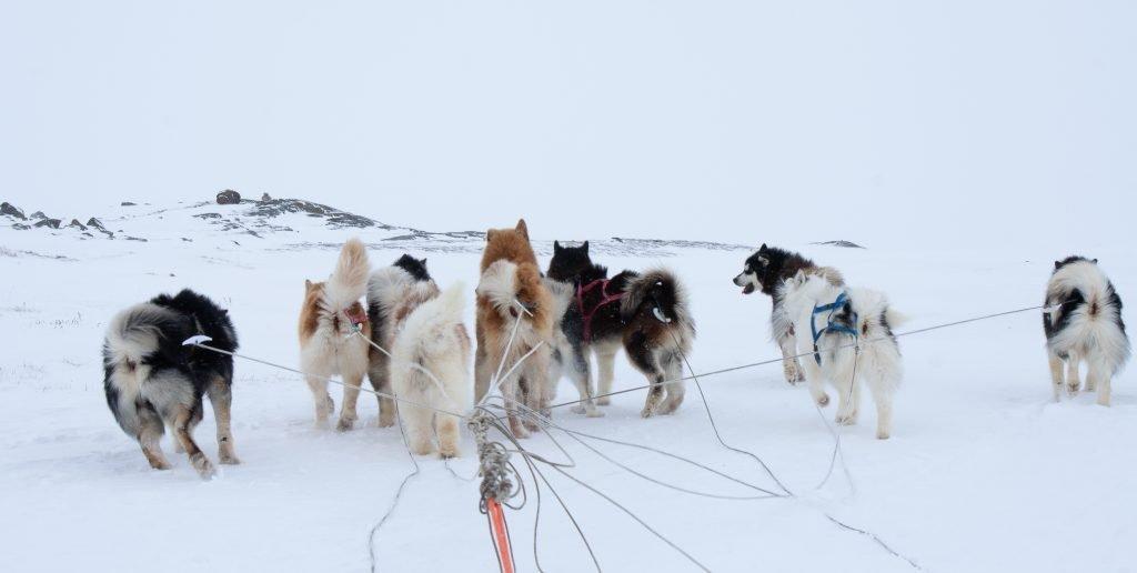 Dogsledding in Iqaluit Nunavut