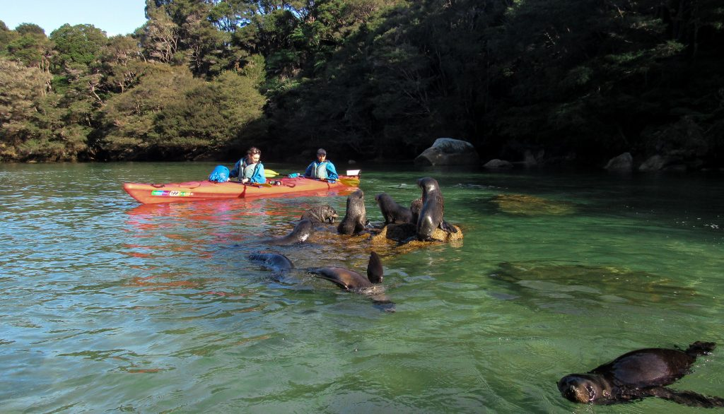 Kayaking with Baby Seals in Abel Tasman