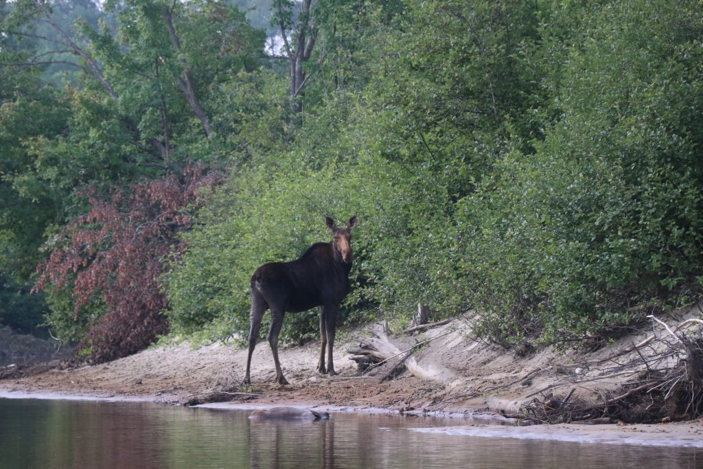 Moose standing at the side of the Noire River